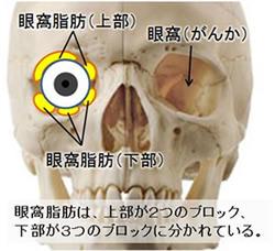 瞼の構造 正面