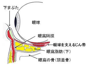 瞼の構造 真横